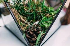 Vigselringar från vit guld i en glass ask fyllde med mossa, G Royaltyfri Bild