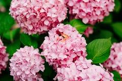 Vigselringar på vanliga hortensiorna Royaltyfri Foto