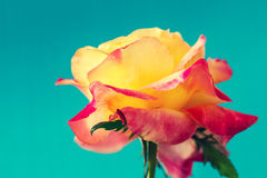 Viintge colorful rose Royalty Free Stock Images