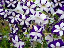 Viiolet et Althea de fleurs blanches Images libres de droits