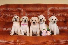 Vijf aanbiddelijke Labrador puppy Stock Foto's