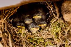 Vijf babyvogels die in het nest zitten Stock Fotografie