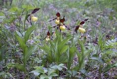 Vijf dame-pantoffel orchideeën Stock Afbeeldingen