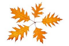 Vijf de herfstbladeren Stock Afbeeldingen