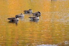 Vijf ganzen op een meer Stock Foto's