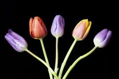 Vijf Gekleurde die Anjers op een zwarte achtergrond worden geplaatst Royalty-vrije Stock Afbeeldingen