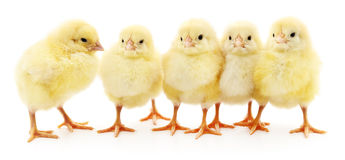 Vijf gele kippen royalty-vrije stock foto's