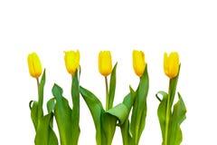 Vijf gele tulpen op een witte achtergrond zijn precies op een rij royalty-vrije stock afbeelding