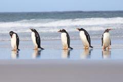 Vijf Gentoo-Pinguïnen op een rij bij kustenrand Royalty-vrije Stock Afbeelding