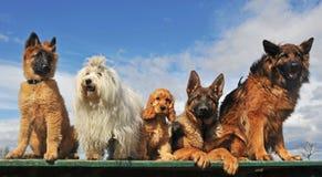Vijf honden stock foto's