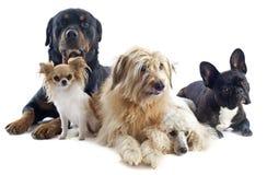 Vijf honden stock fotografie
