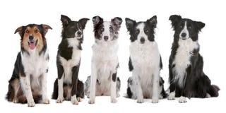 Vijf honden van de grenscollie Stock Afbeeldingen