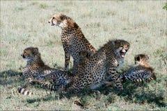 Vijf jachtluipaarden. Royalty-vrije Stock Afbeelding