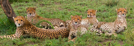 Vijf jachtluipaarden in de savanne kenia tanzania afrika Nationaal Park serengeti Maasai Mara Stock Afbeelding
