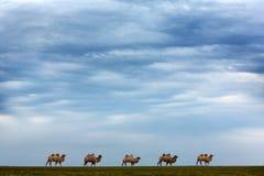 Vijf kamelen Horizon, steppe, hemel royalty-vrije stock foto