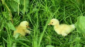 Vijf kleine eendjes binnen openlucht op groen gras stock videobeelden