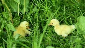 Vijf kleine eendjes binnen openlucht op groen gras stock video