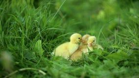 Vijf kleine eendjes binnen openlucht op groen gras stock footage