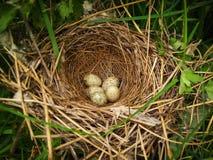 Vijf kleine gevlekte eieren van bosvogels zijn in mooi maakten het nest Stock Afbeelding