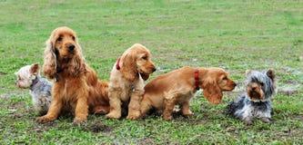Vijf kleine honden Stock Foto