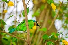 Vijf kleurenBarbet die de bidsprinkhanen bijt royalty-vrije stock foto's