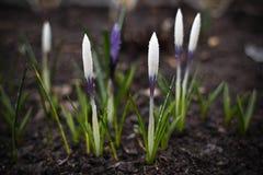 Vijf krokussen in mijn tuin Royalty-vrije Stock Afbeeldingen