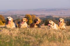 Vijf labradors royalty-vrije stock afbeeldingen
