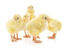 Vijf leuke die kuikens op wit worden geïsoleerd Stock Afbeeldingen
