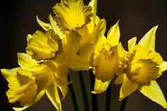 Vijf Narcissen tegen een donkere achtergrond stock afbeeldingen