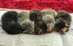 Vijf nieuwe katjes werden op een rij geschikt stock afbeelding