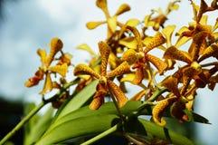 Vijf petels gele orchidee stock foto's