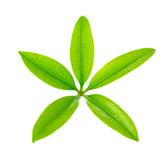 Vijf Punt Groen die Blad op witte achtergrond wordt geïsoleerd Stock Afbeeldingen