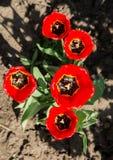 Vijf rode bloeiende tulpen Stock Fotografie