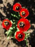 Vijf rode bloeiende tulpen Stock Foto's