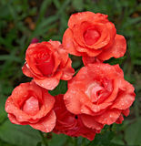 Vijf Rode Rozen Royalty-vrije Stock Foto