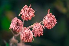 Vijf roze droge bloemen Royalty-vrije Stock Foto's