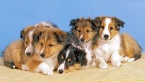 Vijf Sheltie-puppy Royalty-vrije Stock Foto