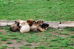 Vijf vriendschappelijke puppy Stock Foto's