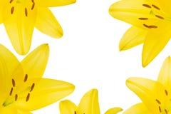 Vijf vrij Aziatische lelies, Liliaceae Lilium Stock Afbeelding
