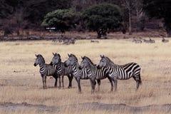 Vijf zebras stock fotografie