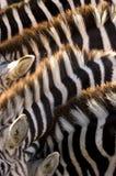 Vijf zebras Royalty-vrije Stock Foto's
