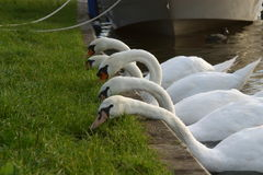Vijf zwanen het voeden Stock Foto's