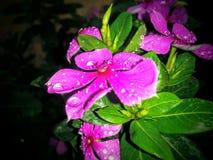 vijfsterren roze bloem Stock Foto's