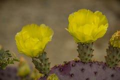 Vijgcactus in bloei Stock Foto's