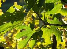 Vijgebladen onder zonlicht Stock Afbeeldingen