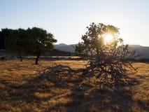 Vijgeboom bij zonsondergang Royalty-vrije Stock Foto