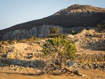Vijgeboom bij zonsondergang Stock Afbeelding