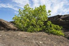 Vijgeboom in de woestijn Stock Foto's
