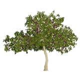 Vijgeboom in de zomer met vruchten Stock Foto's