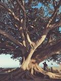 Vijgeboom en mens Stock Afbeeldingen